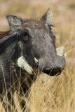 Portrait of a warthog Royalty Free Stock Photo