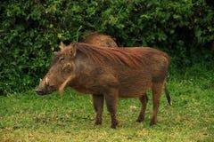 Portrait of a Warthog. A portrait of a warthog against a green jungle foliage background stock photos