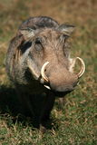 Portrait of Warthog with big tusks Stock Images