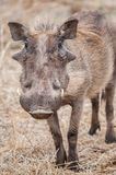 Warthog - Phacochoerus. Portrait of a warthog in his natural habitat - South Africa Royalty Free Stock Photos