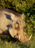 Warthog Portrait Royalty Free Stock Photos