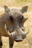 Portrait of a warthog. (Phacochoerus africanus), frontal view Royalty Free Stock Image