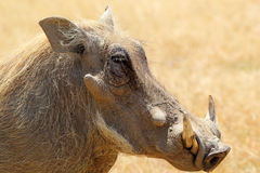 Portrait of a warthog. (Phacochoerus africanus), side view Royalty Free Stock Photo