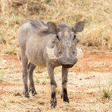 Portrait of a Warthog Royalty Free Stock Images