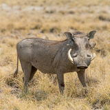 Portrait of a Warthog Royalty Free Stock Photography