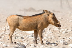 Portrait of a Warthog Stock Photography