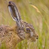 Portrait of wary European Hare in grass. Portrait of wary looking European Hare (Lepus europeaus) hiding in grass and relying on camouflage royalty free stock photos