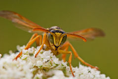 Portrait of a wasp on a flower Royalty Free Stock Photography