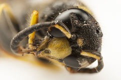 Portrait of a wasp head Stock Photography
