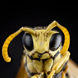Portrait of a wasp Royalty Free Stock Image