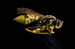 Portrait of a wasp Stock Image