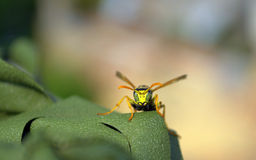 Portrait of wasp watching scary directly Royalty Free Stock Photography