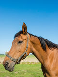Portrait of a watchful brown horse in the meadow Royalty Free Stock Image
