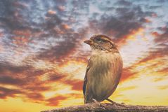 Portrait of a watching sparrow sitting on a branch close-up against a colorful cloudy beautiful evening sky.  Stock Photography