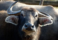 Portrait of a Water Buffalo Royalty Free Stock Photo