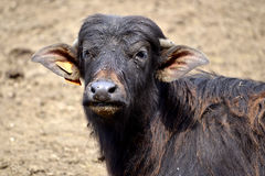 Portrait water buffalo calf Stock Images