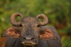 Water buffalo portrait Stock Photography