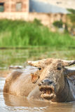 A portrait of a water buffalo with its mouth open on a rice field in Phong Nha ke bang national Park, Vietnam. Taking a Royalty Free Stock Photos