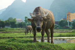 A portrait of a water buffalo on a rice field in Phong Nha, Vietnam. With other buffalos in the background. Stock Image