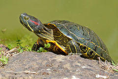 Portrait of water turtle Stock Images