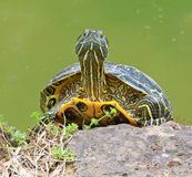 Portrait of water turtle Royalty Free Stock Photo