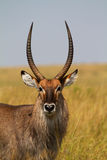 Portrait of waterbuck. Portrait African of waterbuck in closeup Stock Photography