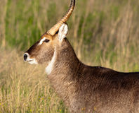 Portrait of a Waterbuck Royalty Free Stock Images
