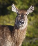 Portrait of a Waterbuck Antelope stock image