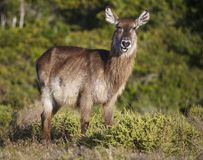 Portrait of a Waterbuck Antelope stock photography