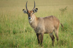 Portrait of a Waterbuck bull. Side view of Waterbuck bull in Uganda, Kidepo valley park Stock Photos