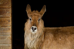 Portrait of waterbuck in shelter Royalty Free Stock Image