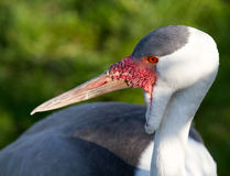 Portrait. Wattled crane, Grus carunculatus. Royalty Free Stock Photo