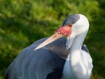 Portrait. Wattled crane, Grus carunculatus. Stock Images