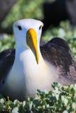Portrait of Waved albatross on Espanola Island, Galapagos National park, Ecuador royalty free stock photos