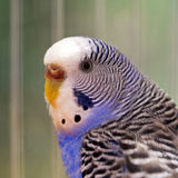 Portrait of wavy parrot close-up. Macro. Stock Photo