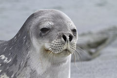 Portrait of a Weddell seal 1. Portrait of a Weddell seal lying on one of the Antarctic islands 1 Stock Photo