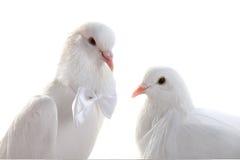 Portrait Wedding doves Royalty Free Stock Image