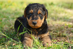 Portrait 6 week old Airedale Terrier puppy dog Stock Photography
