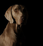 Portrait of a weimaraner. On black background Royalty Free Stock Photos