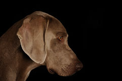 Portrait of a weimaraner. On black background Stock Images