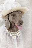 Portrait of Weimaraner dog Stock Photo