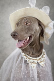 Portrait of Weimaraner dog Royalty Free Stock Image