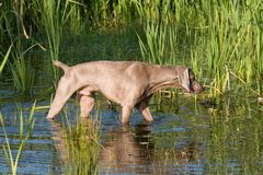 Portrait of weimaraner dog Stock Images
