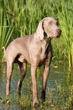 Portrait of weimaraner dog Royalty Free Stock Images