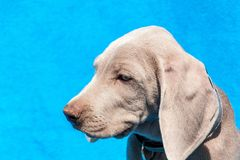 Portrait of a weimaraner puppy on blue background. Puppy of a hunting dog. Royalty Free Stock Image