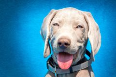 Portrait of a weimaraner puppy on blue background. Puppy of a hunting dog. Stock Photo