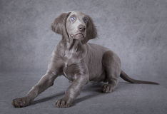 Portrait of Weimaraner puppy Royalty Free Stock Image