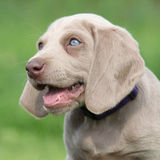 Portrait of Weimaraner Vorsterhund puppy with amazing eyes Royalty Free Stock Images