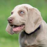 Portrait of Weimaraner Vorsterhund puppy with amazing eyes Royalty Free Stock Images