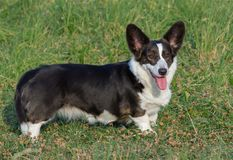 Welsh Corgi Cardigan tricolor with brindle points stock photo